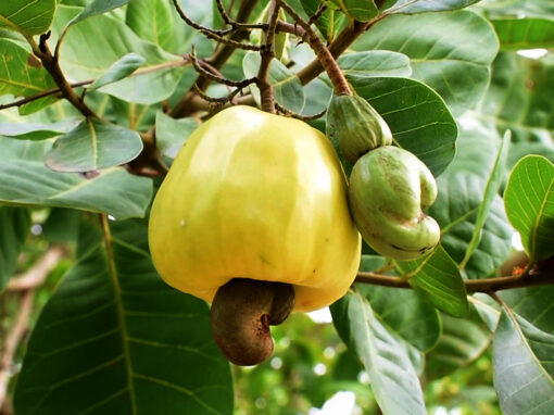 Increase income for cashew nut farmers